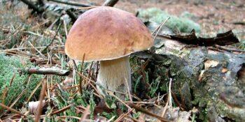 В грибах из шести районов Нижегородской области обнаружили ртуть