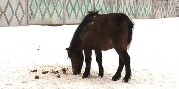 Из огня да в полымя. Заморенных голодом лошадей на частной конюшне в Дзержинске продали на убой